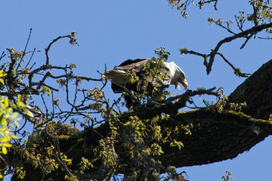 Bald Eagle coughing up a feather from an ongoing meal