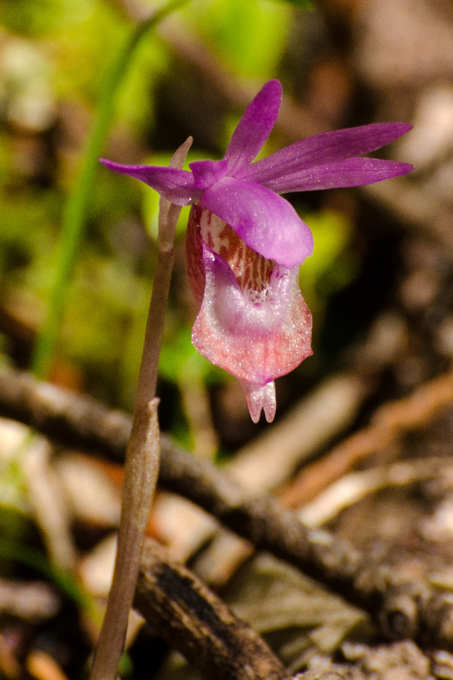 Calypso Orchid (there were many of these delicate orchids along the trail)