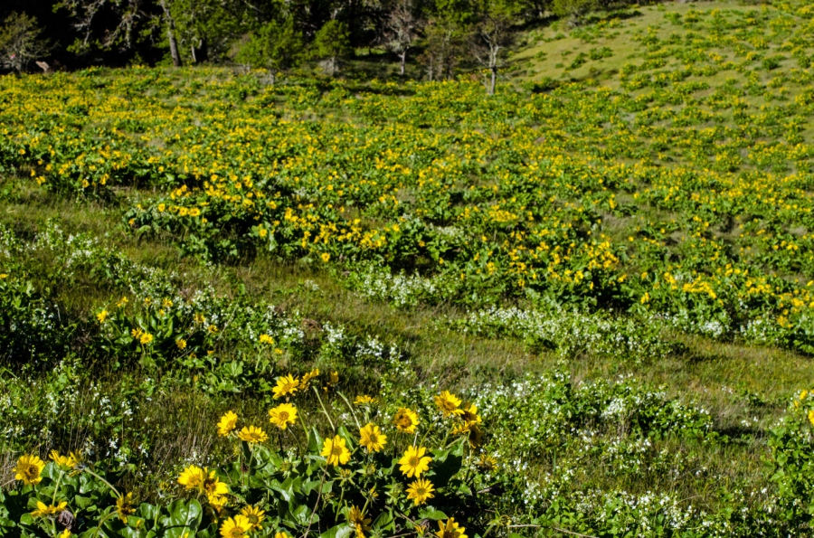 Golden Balsamroot covering the hillside