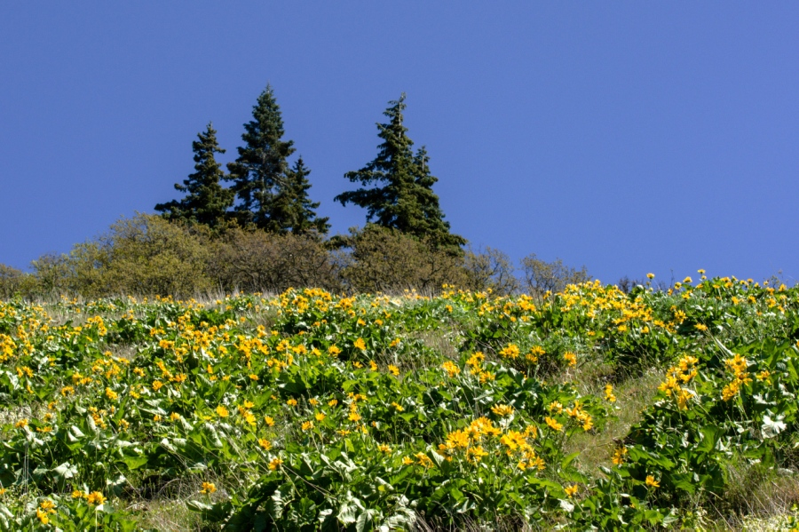 Balsamroot and blue skies