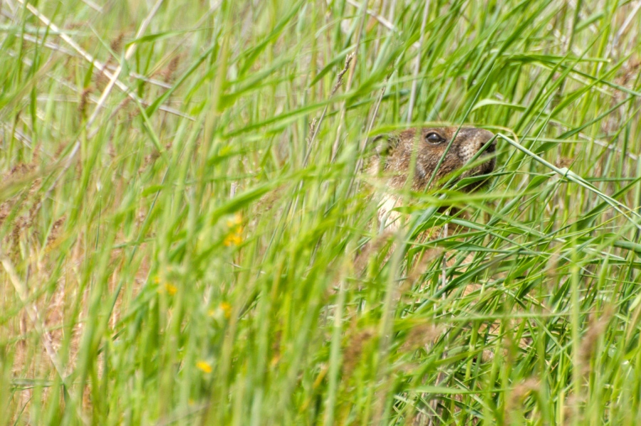 "Groundhog ""hiding"" in the grass"