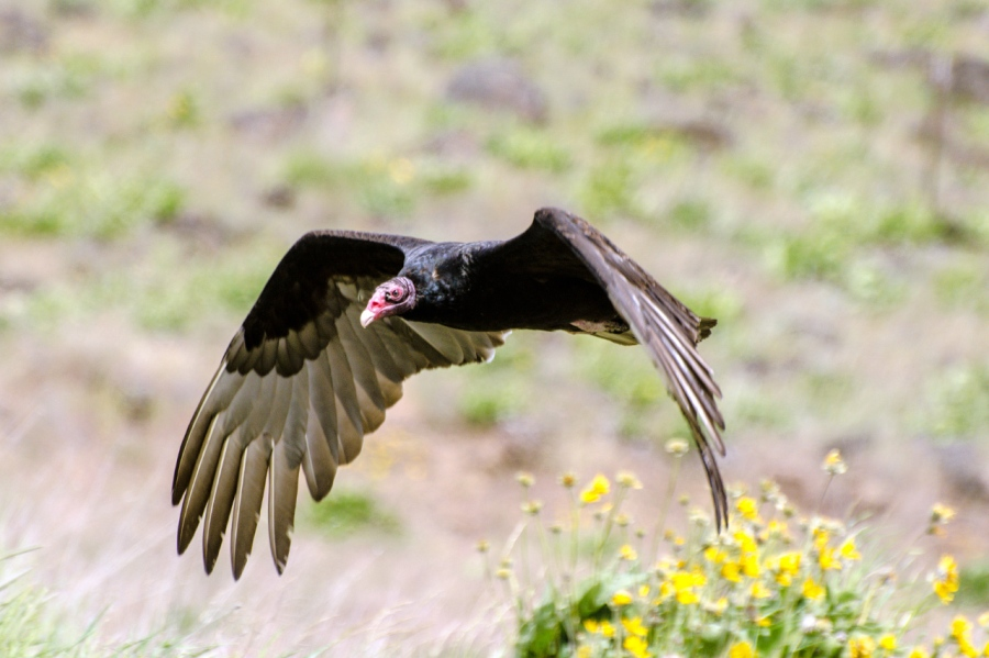 Turkey Vulture up close and personal
