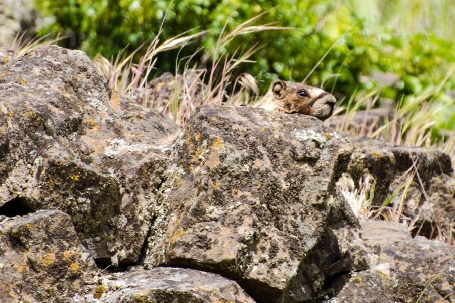 Groundhog sunning itself on a rock