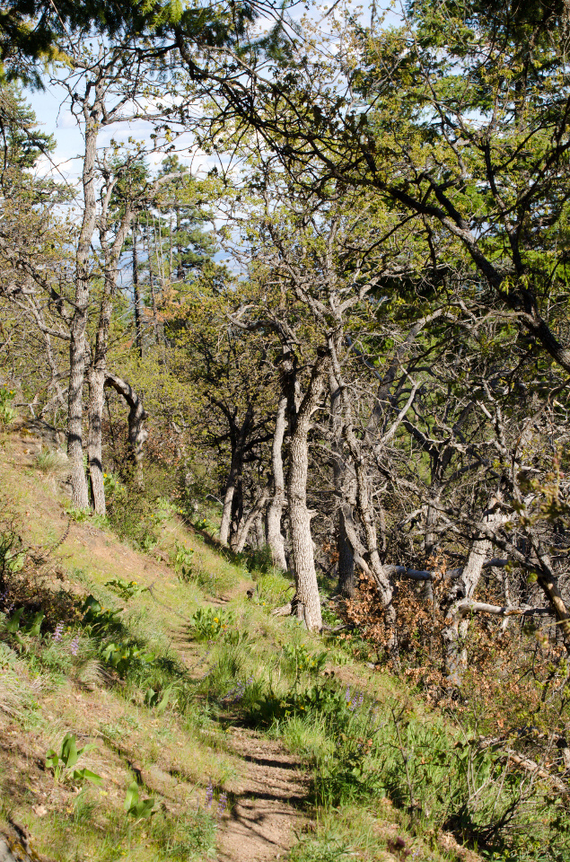 Lower trail among the oak trees