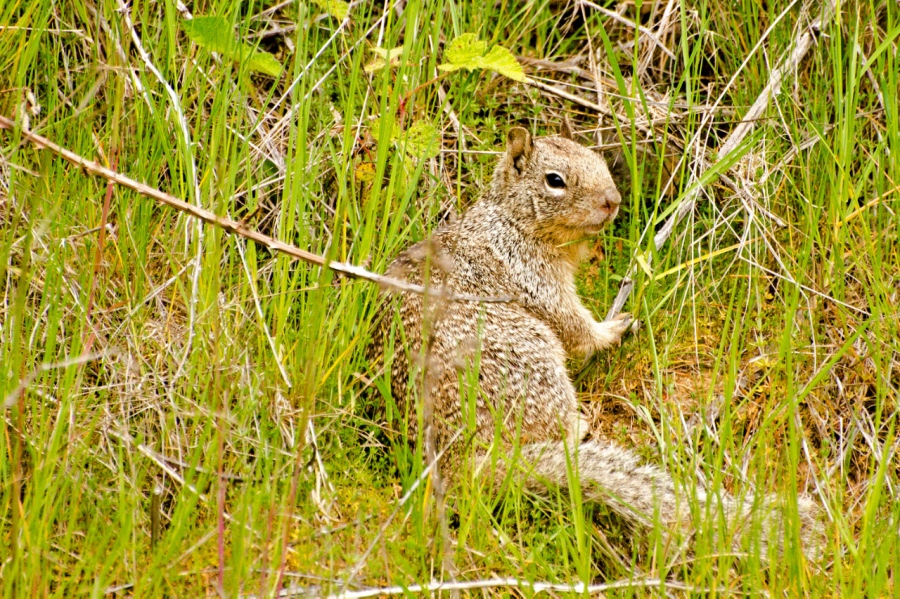 Colombian Ground Squirrel