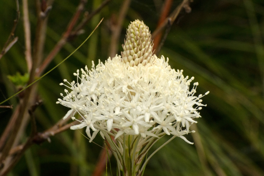 Beargrass (wild Lily)