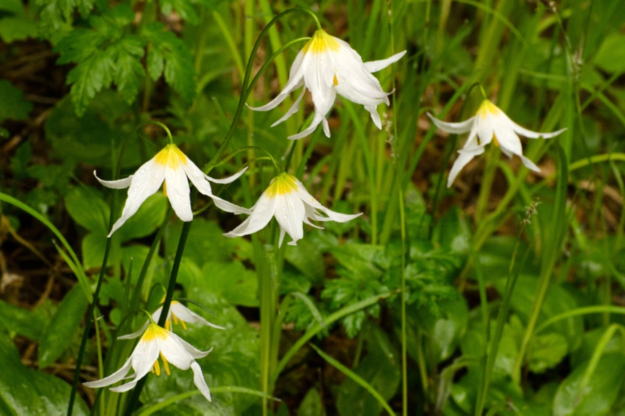 Avalanche Lilies by the hundreds along the trail