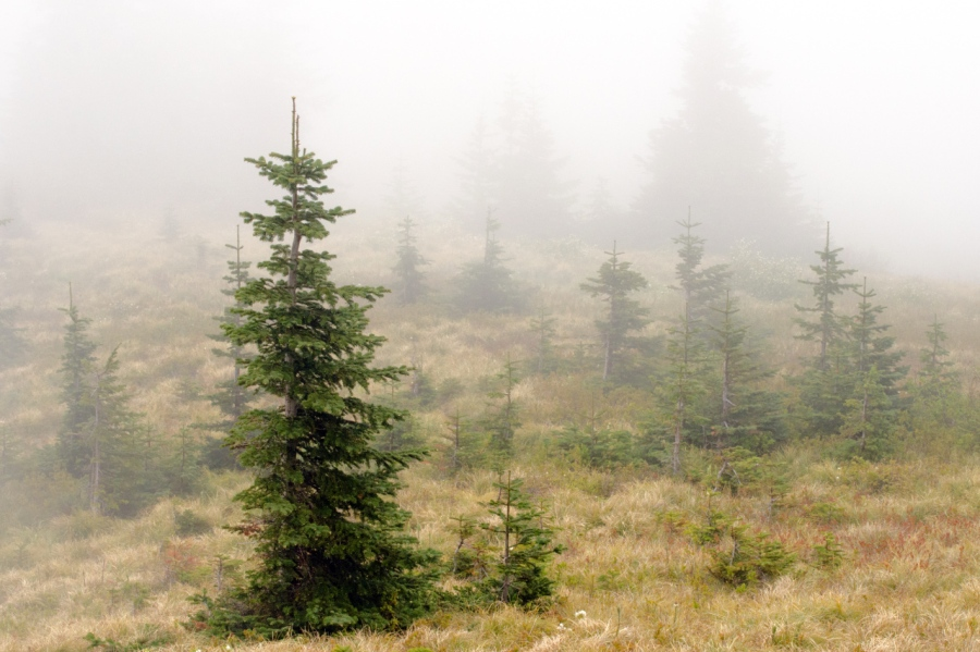 Small Noble Fir and Beargrass growing in the old burn