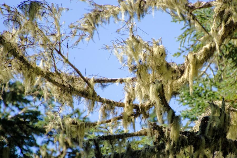 Witch's Hair Lichen hanging on the limbs of an Alpine Fir