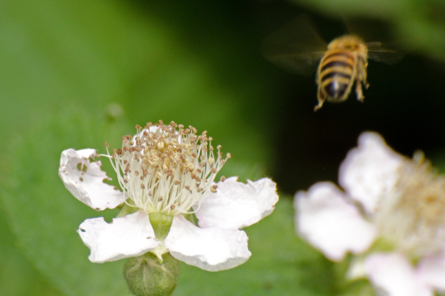 Honey Bee leaving a Blackberry