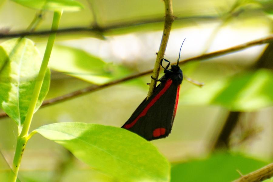 Cinnamon Moth