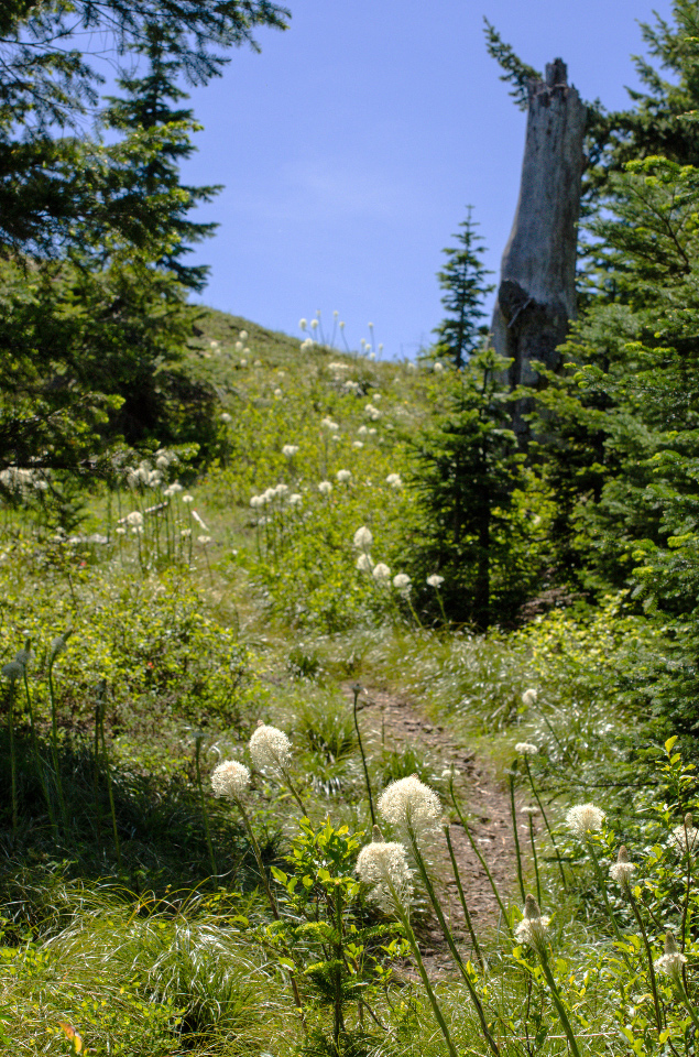 Beargrass near the summit of Observation Peak