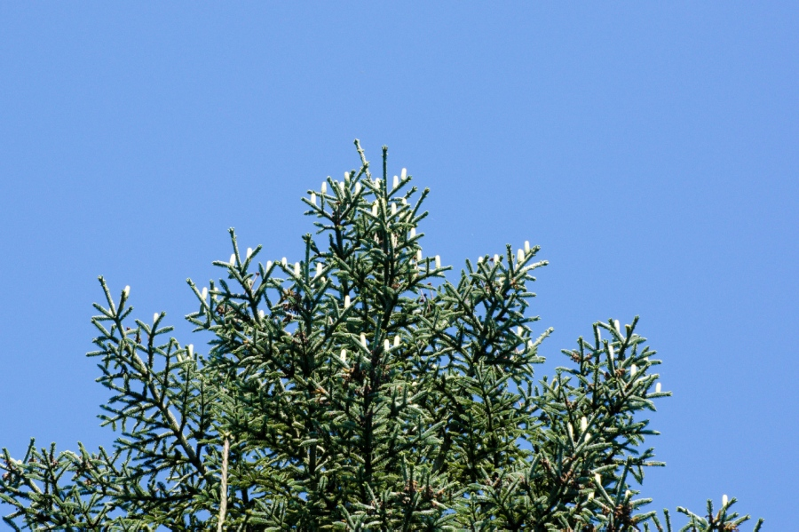 New cones on a Silver Fir