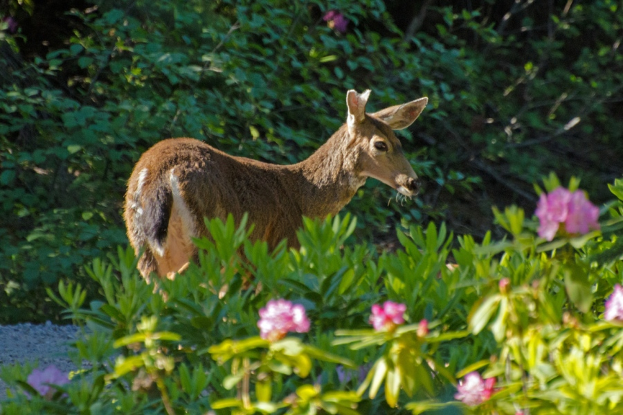 Blacktail Doe among the Rhodies