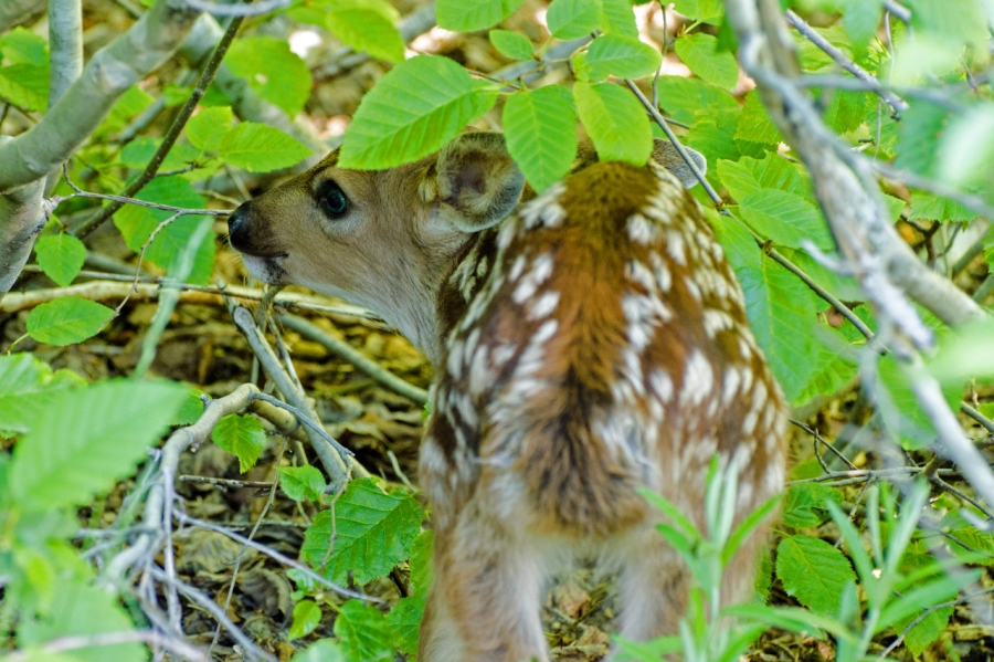 Young Blacktail Fawn hiding from me