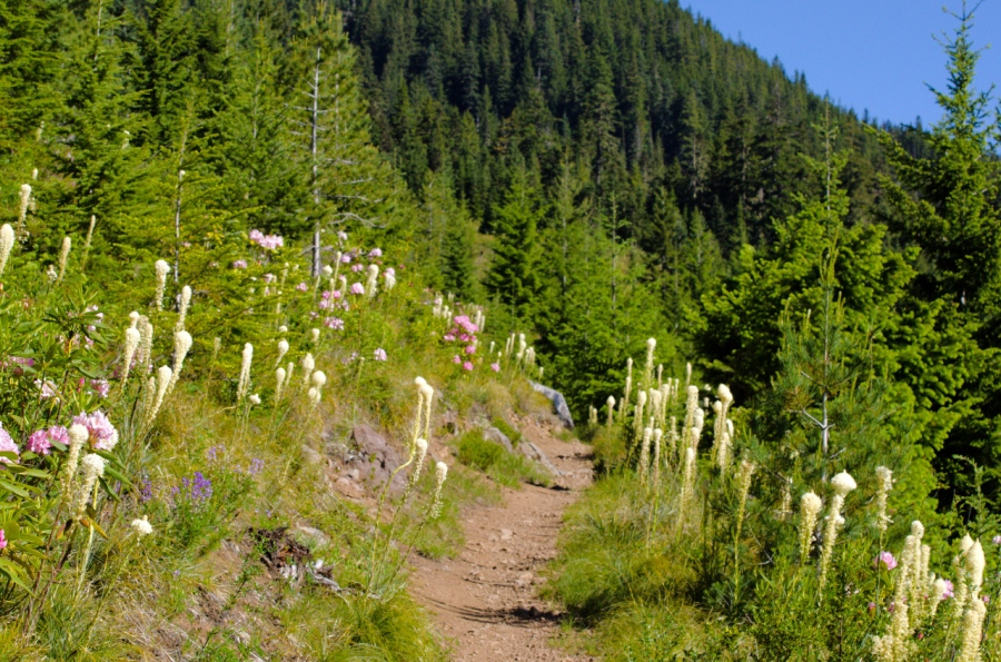 Beargrass and Rhodies lining the trail