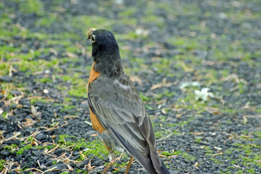 American Robin with a bug