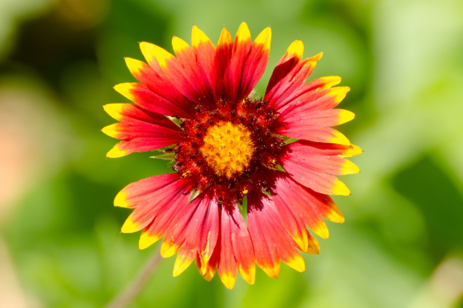 Blanket Flower (or a close relative?)