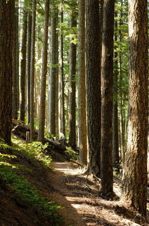 Trail passing through a mature Mountain Hemlock forest, a few Doug Firs too