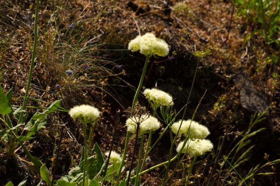 Busckwheat