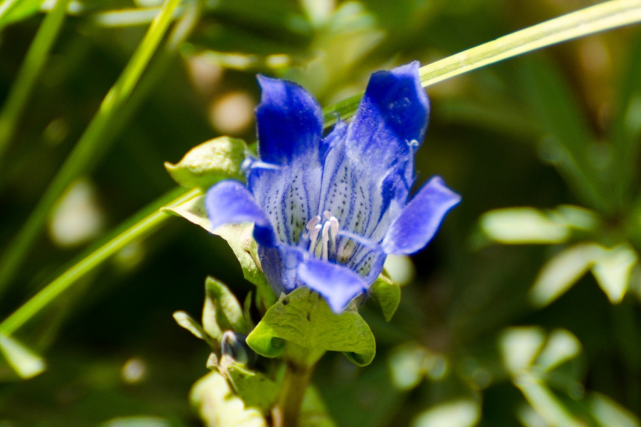 Explorer's Gentian (one of few true blue flowers known)