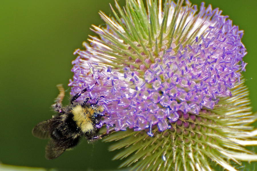 Bee on a Teasel