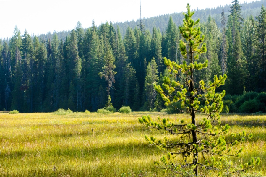 Lodgepole Pine slowly taking over the large subalpine meadow