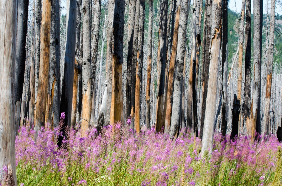 Fireweed framing the burnt trees along the trail