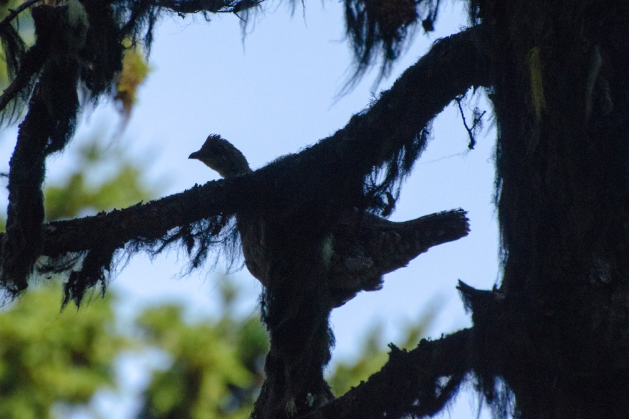 Grouse silhouetted in a tree