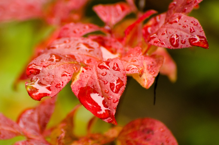A rainy day (Huckleberry leaves)