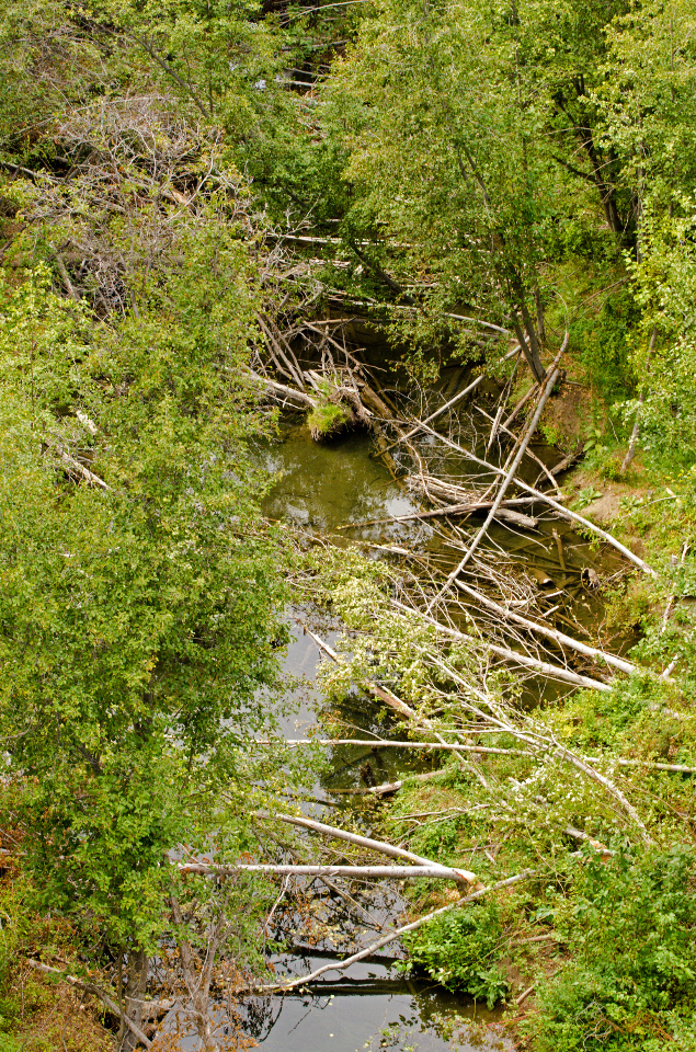 Beavers have been busy on Rattlesnake Creek
