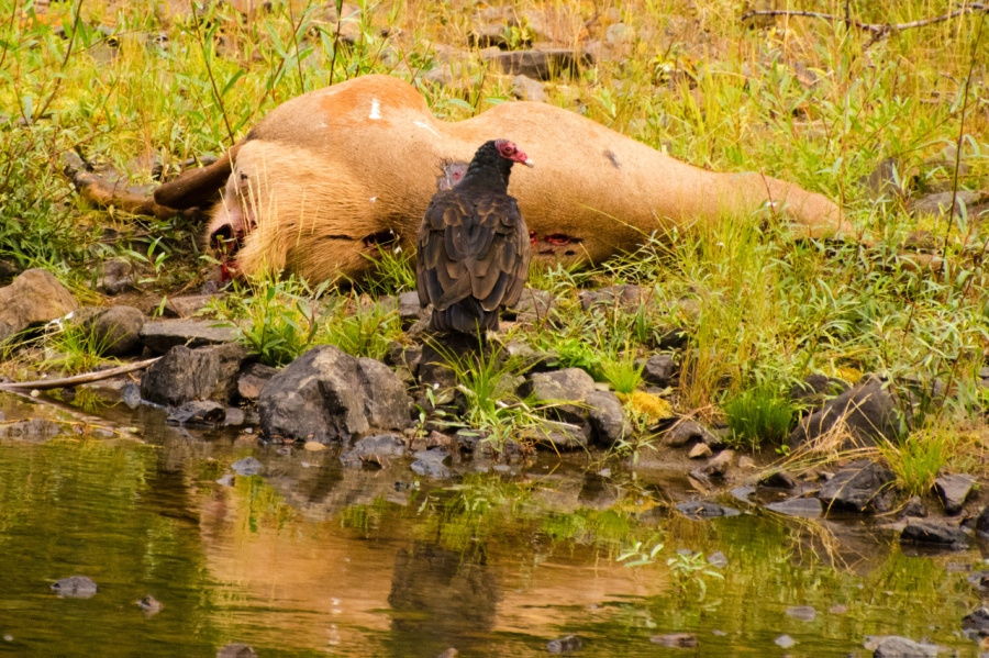 Turkey Vulture having a snack (a very suspicious elk carcass)
