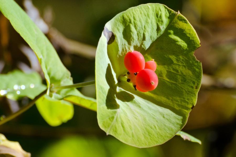 Colorful berries (Honeysuckle?)