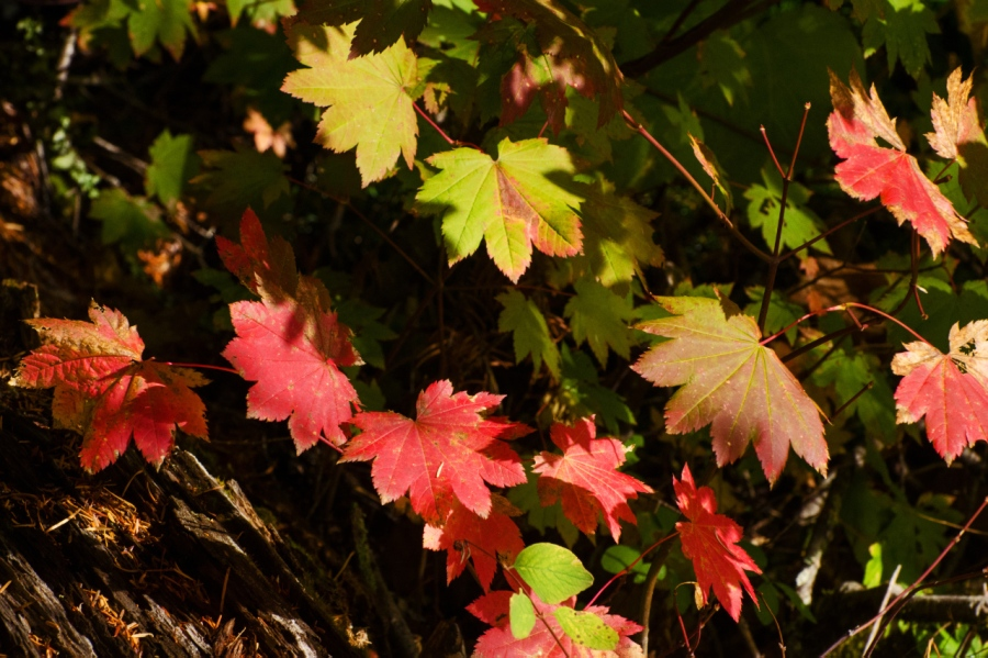 Vine Maple picking up their autumn colors