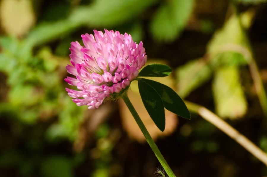 Late-blooming Clover