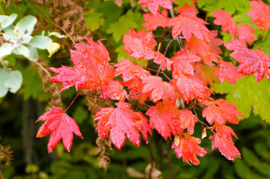 Vine Maple leaves with their autumn colors