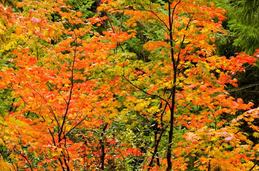 Vine Maple trees