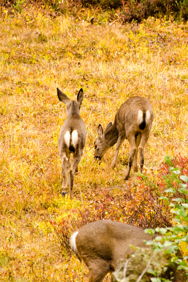 Mule Deer enjoying a snack