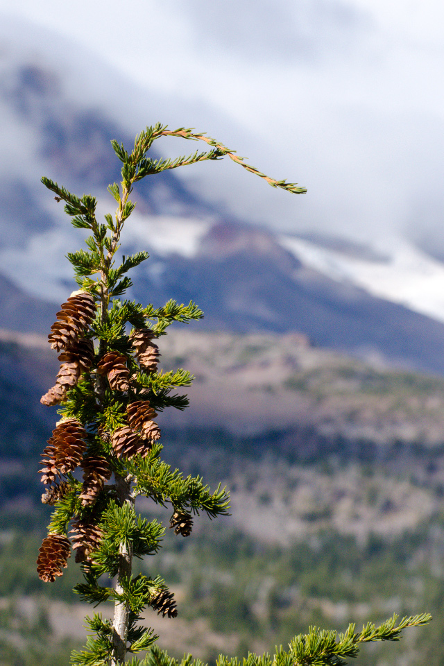 Alpine Hemlock