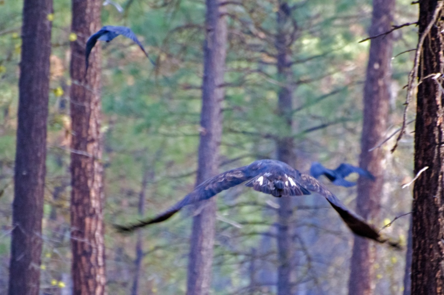 An Eagle and Ravens leaving the site of dead animal