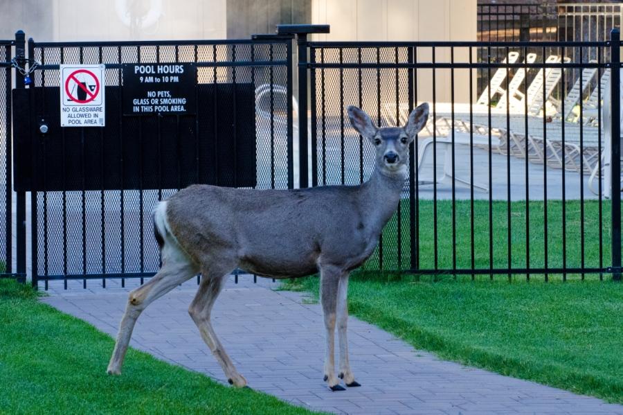 Mule Deer Doe looking for an early morning swim?