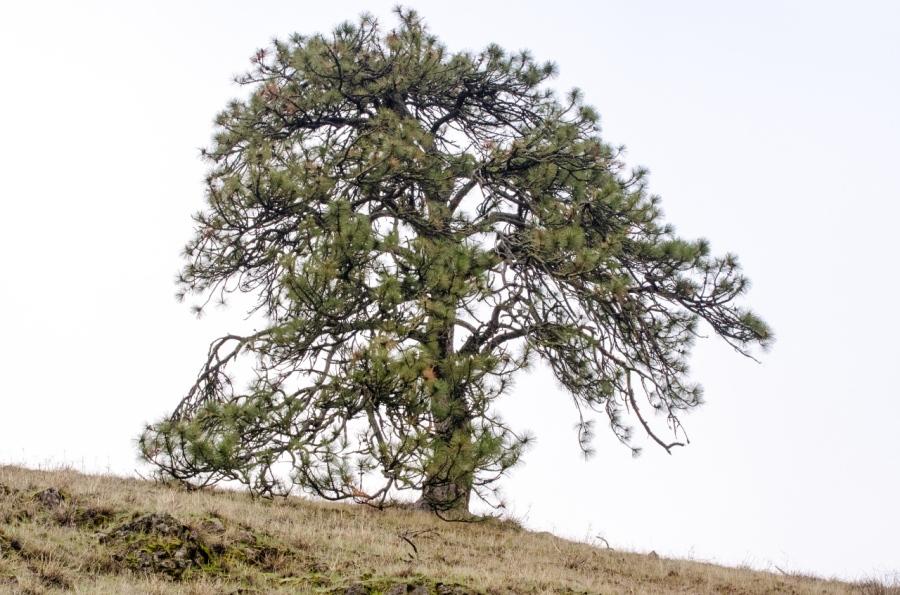 Mature Ponderosa Pine stranding guard over the Oak Savannah