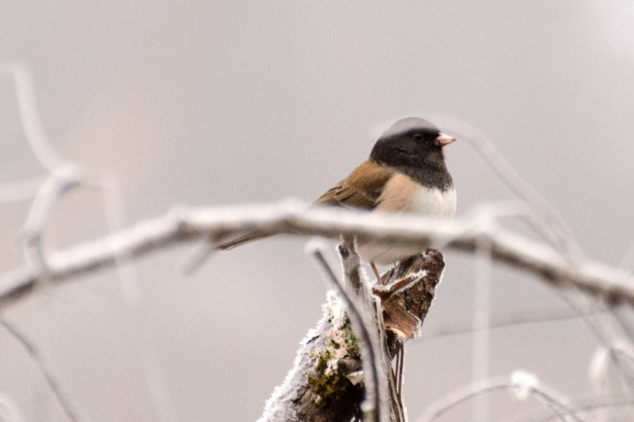 Black-capped Chickadee on a cold perch