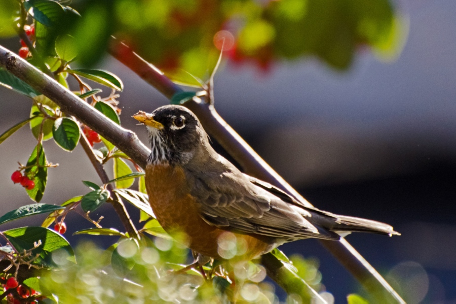 Western Robin