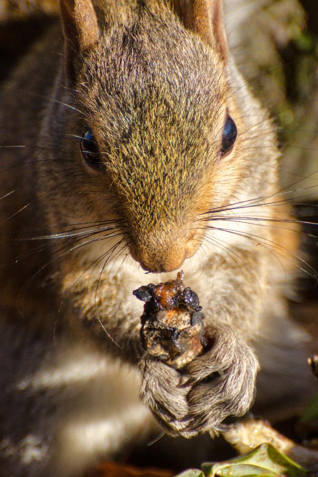 Squirrel enjoying a chicken bone