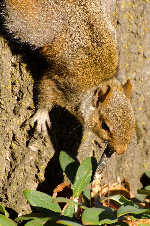 Fox Squirrel and its chicken bone