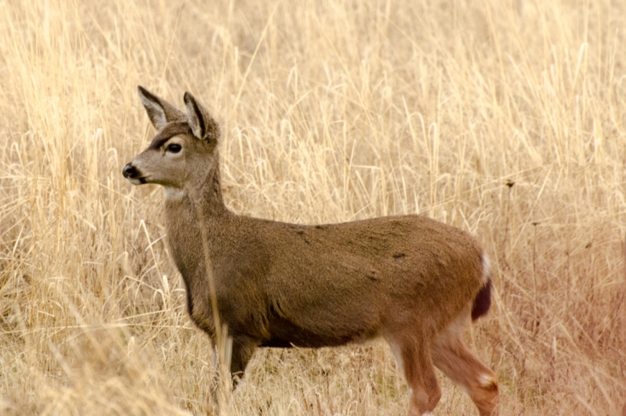 Young Blacktail Deer