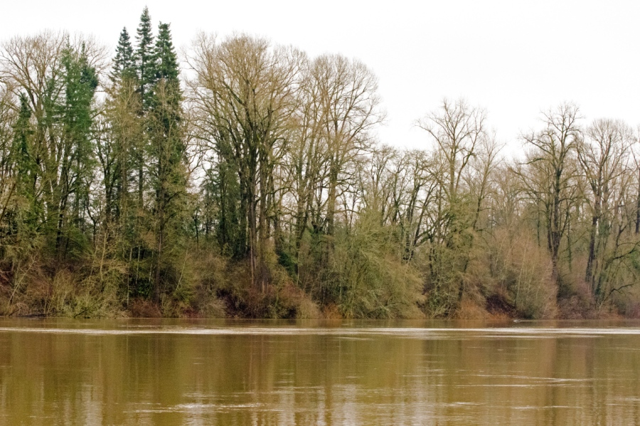 Large Cottonwoods growing along the Willamette River