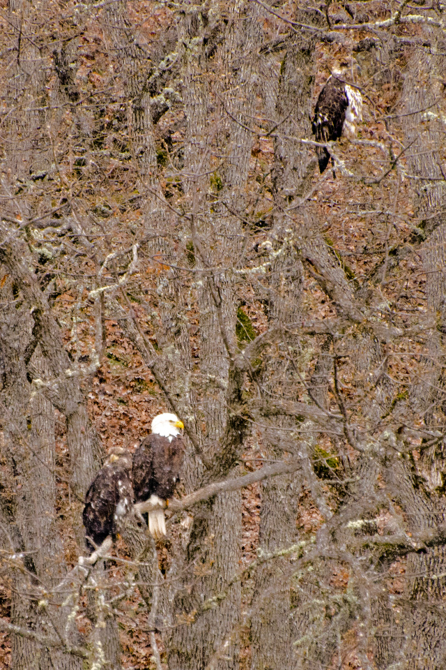 Three Bald Eagles taking a break