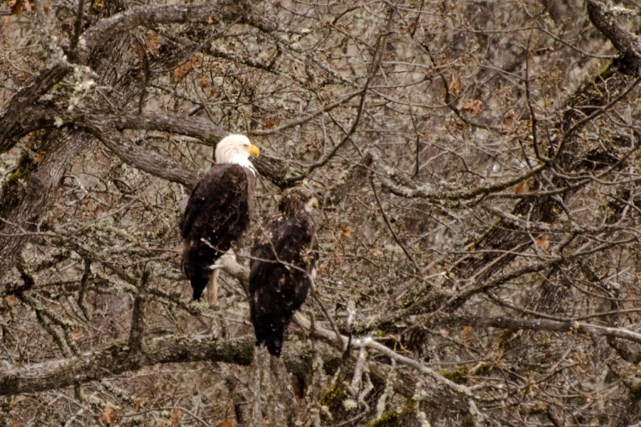 Lord Balfour's Bald Eagles
